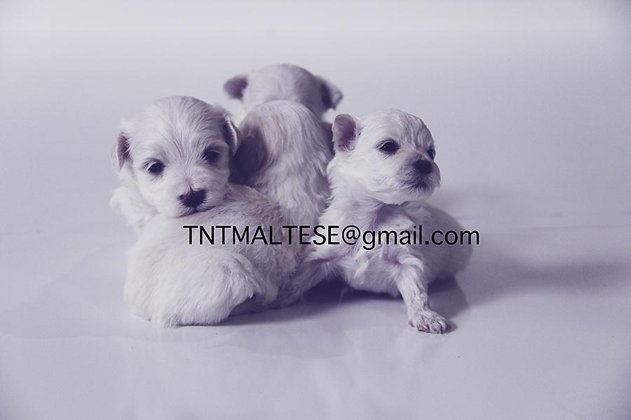 TNT Maltese Puppies